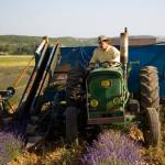 Oogsten van de Lavendel door Gary Young zelf op de boerderij in Simiane-la-Rotonde, Frankrijk