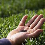 Young Living groeit de plantjes uit zaad wat een veel hogere kwaliteit geeft dan stekken. Wat gebruikelijk is voor de markt.